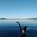Black Swan at Lake Rotorua.jpg