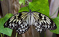 Black and White Butterfly 3 (7974366219).jpg