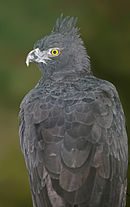 Black and chestnut Eagle.jpg