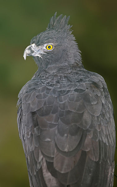 Ficheiro:Black and chestnut Eagle.jpg