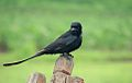 Black drongo in India.jpg