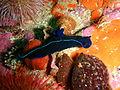 Black nudibranch at Partridge Point P7190613.JPG