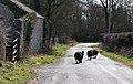 Black sheep on the run - Frampton - geograph.org.uk - 1763392.jpg