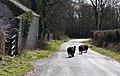 Black sheep on the run - Frampton - geograph.org.uk - 1763392.jpg