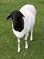 Blackhead Persian sheep.jpg
