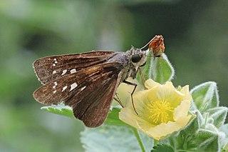 <i>Caltoris kumara</i> species of insect