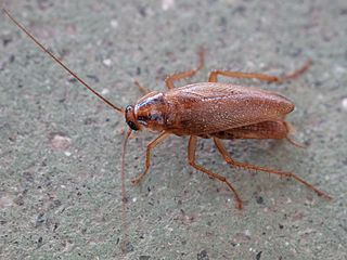 German cockroach species of insect
