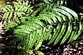 Blechnum novae-zelandiae in Aoraki Mount Cook NP 04.jpg