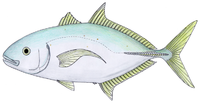 Bludger (fish)