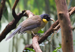 Blue-crowned Laughingthrush.jpg