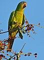 Blue-crowned Parakeet (Aratinga acuticaudata) (31668903011).jpg