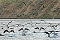 Blue-footed boobies surface after fishing for Anchovies, Tagus Cove, albemarle island, Isabela, Galapagos - panoramio.jpg