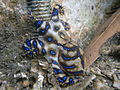Blue-ringed octopus (Hapalochlaena maculosa) (8593173385).jpg