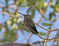 Blue-throated Mountaingem, Cave Creek Canyon, Chiricahua Mts.jpg