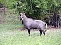 Blue bull (Nilgai).jpg