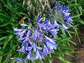 Blue flowers Da Lat.jpg