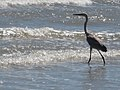 Blue heron in the surf, Texas (5984945770).jpg