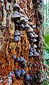 Blue mushroom colony (22965783339).jpg