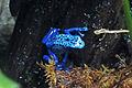 Blue poison dart frog 01 2012 BWI 00398.JPG