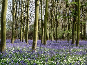 Helpston - Image: Bluebells at Helpston Heath geograph.org.uk 641739