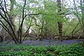 Bluebells by the Downs Link - geograph.org.uk - 1876063.jpg