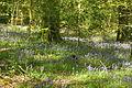 Bluebells in Plymbridge Woods (4551).jpg