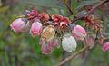 Blueberry shoestring virus - flowers.jpg