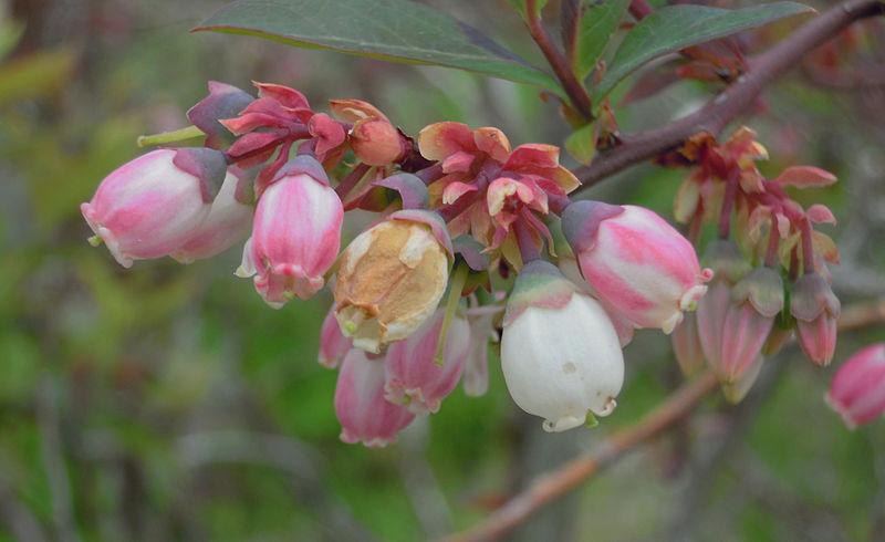 File:Blueberry shoestring virus - flowers.jpg