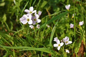 Cardamine pratensis - Image: Blume in Wildbad 07