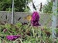 Blurry butterfly on Buddleja (6167738392).jpg
