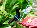 Boissonneaua jardini (Colibrí alirrufo) (14124631686).jpg
