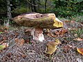 Boletus luridus, Trellech Common - geograph.org.uk - 262811.jpg