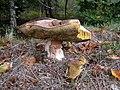 Boletus luridus, Trellech Common - geograph.org.uk - 262811.jpg