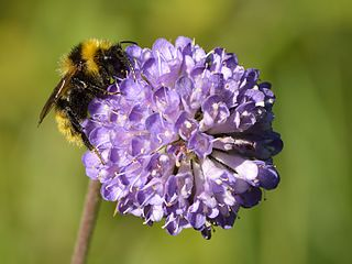<i>Bombus campestris</i> species of insect