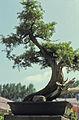 Bonsai-2 hg.jpg