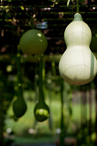 Bottle Gourd - Flickr - nekonomania.jpg