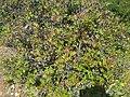 Bouachouch forest. Ait mimoun. Khemisset 12.jpg