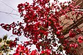 Bougainvillea flowers in Athens.jpg