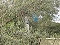 Bouteilles en plastique dans un olivier à Villetelle (F-34400).jpg
