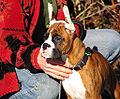 Boxer puppy ears taped.jpg