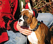 A brindle Boxer puppy with its ears taped after cropping to train them into the desired shape