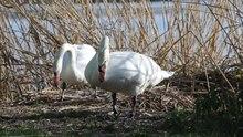 File: Brooding Mute Swans, Cygnos olor, April.webm