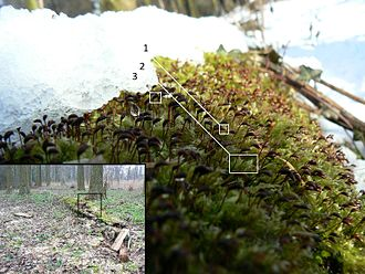 Spore - Fresh snow partially covers rough-stalked feather-moss (Brachythecium rutabulum), growing on a thinned hybrid black poplar (Populus x canadensis). The last stage of the moss lifecycle is shown, where the sporophytes are visible before dispersion of their spores: the calyptra (1) is still attached to the capsule (2). The tops of the gametophytes (3) can be discerned as well. Inset shows the surrounding, black poplars growing on sandy loam on the bank of a kolk, with the detail area marked.