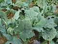 Brassica oleracea (capitata group) 'Winter King' (Crucefera) leaves.JPG