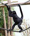Braunkopfklammeraffe Ateles fusciceps Tierpark Hellabrunn-4.jpg