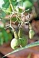 Brazil-00720 - Cashew Nuts (48972282788).jpg