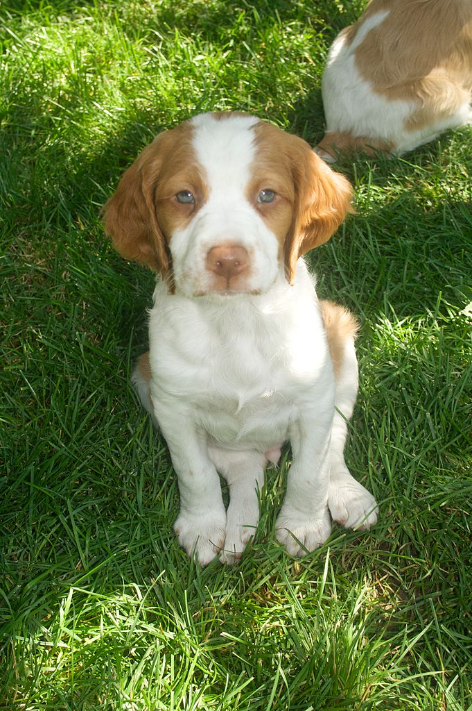 Brittany Bird Dogs For Sale