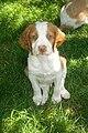 Brittany Puppy.jpg