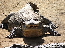 Broad-snouted caiman zoo.jpg