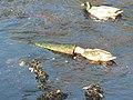 Brora, duck investigates debris - geograph.org.uk - 596924.jpg